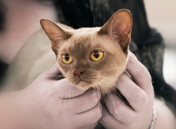Тонкинская кошка цвета корицы