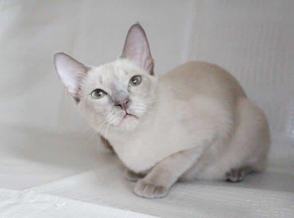 Тонкинская кошка красивое фото