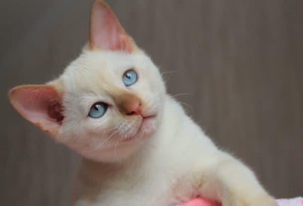 Тонкинская кошка окраса фавн