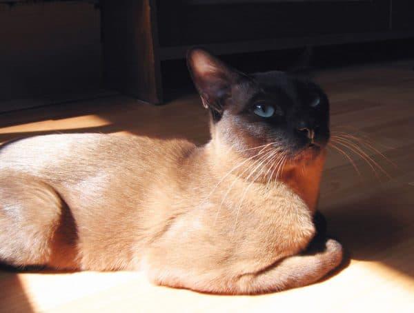 Тонкинская кошка отдыхает