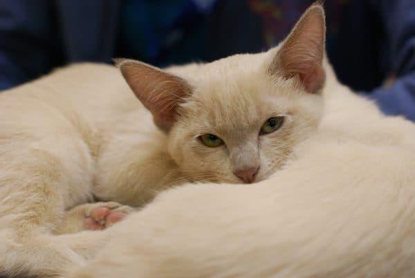 Тонкинская кошка прекрасная порода