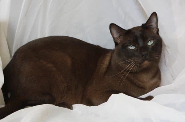 Тонкинская кошка шоколад