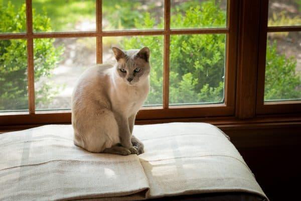 Тонкинская кошка сидит