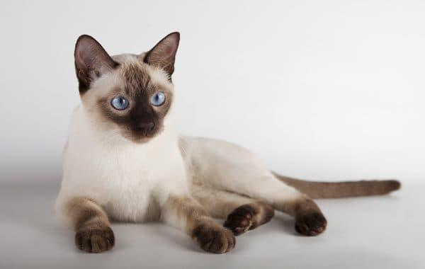 Тонкинская кошка сил