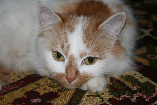 Турецкая кошка ван