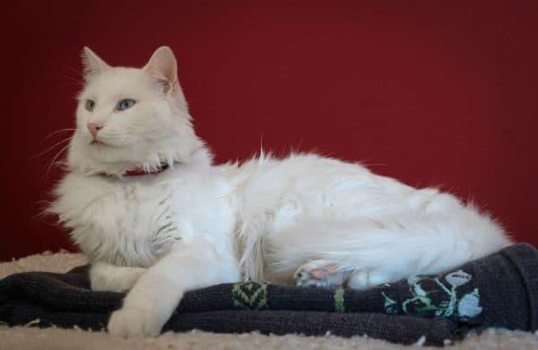 Турецкий ван красивая порода кошек
