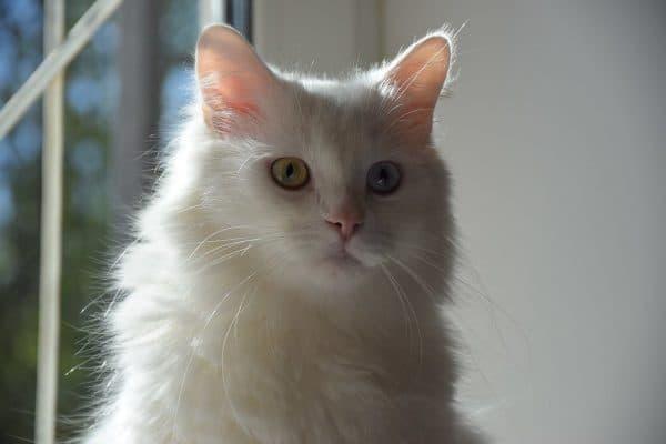 Турецкий ван прекрасная порода кошек