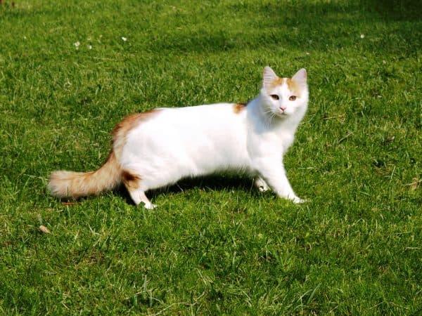 Турецкий ван удивительная порода кошек