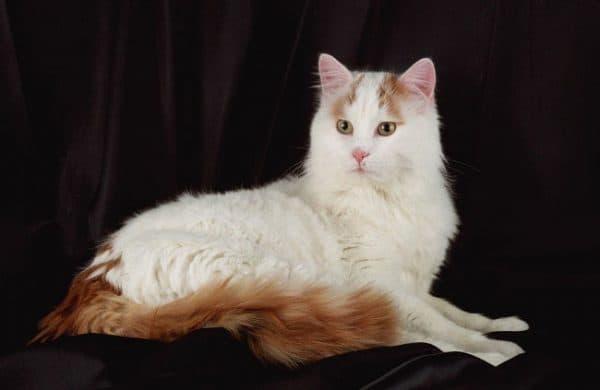 Турецкий ван. Описание породы, фото кошки, видео, характер и цены.