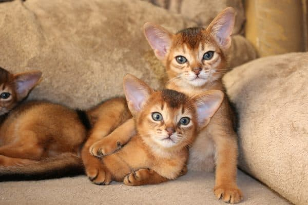 Абиссинский красивый котенок