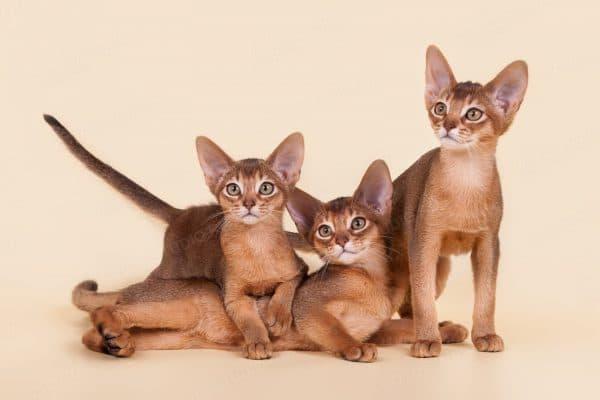 Абиссинский удивительный котенок