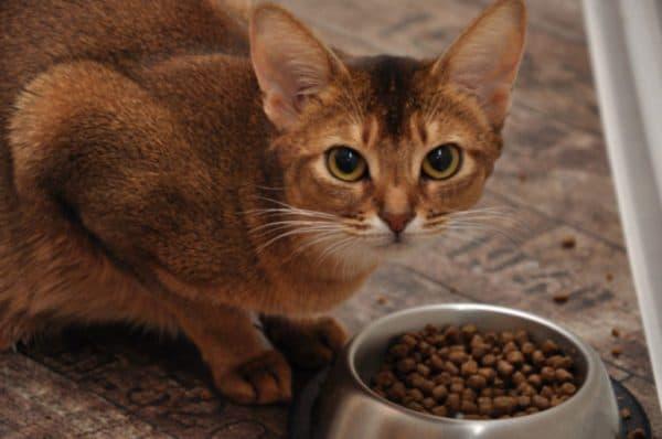 Чем кормить абиссинскую кошку