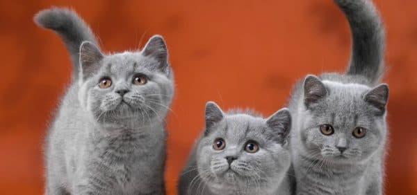 Чем кормить британского котенка по месяцам читайте статью