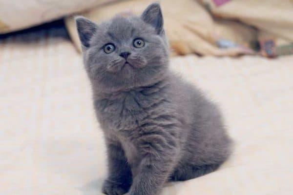 Чем кормить британского котенка по месяцам