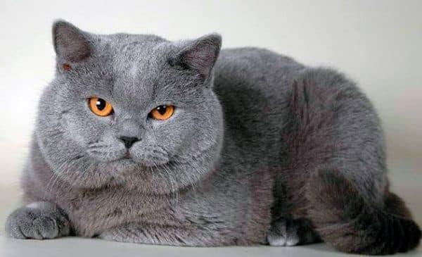 Чем кормить британскую кошку. Покупные корма