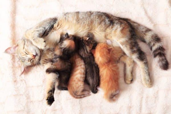 Чем кормить кормящую кошку. Питание до родов
