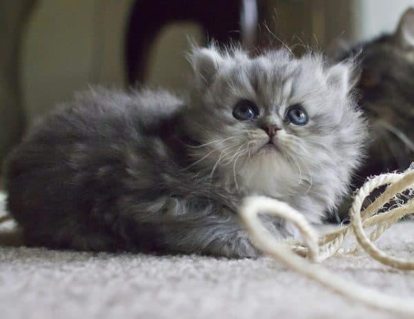 Чем кормить персидскую кошечку