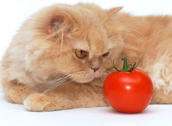 Чем кормить персидскую кошку