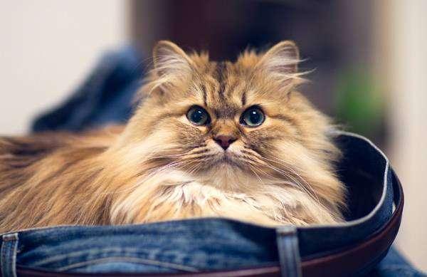 Чем кормить персидскую кошку. Режим питания