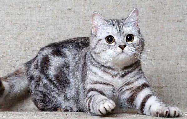 Чем кормить шотландскую кошку читайте статью