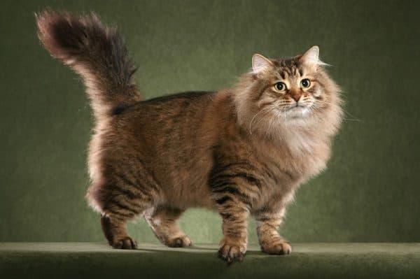 Что нельзя давать сибирской кошке