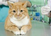 Как лечится гипертрофическая кардиомиопатия у кошек