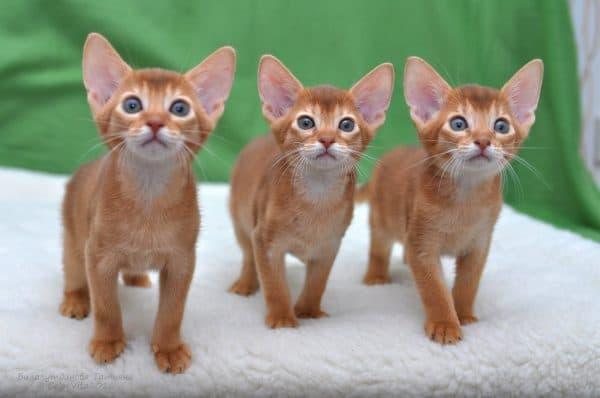 Как назвать абиссинского котенка