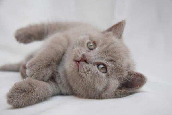 Как назвать британского котенка читайте статью