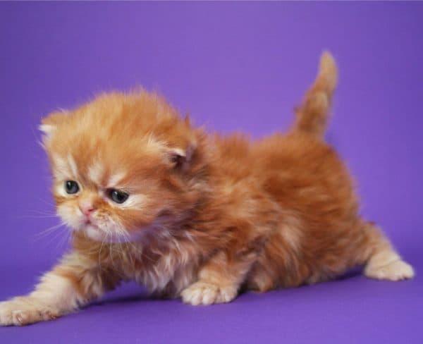 Как назвать персидского котенка