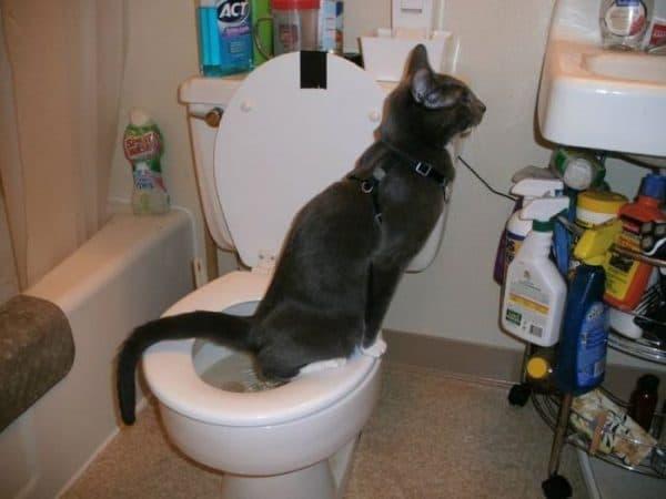 Как приучить кота к унитазу читайте статью