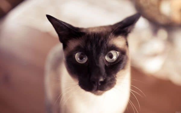 Кормление сиамской кошечки. Чем нельзя кормить