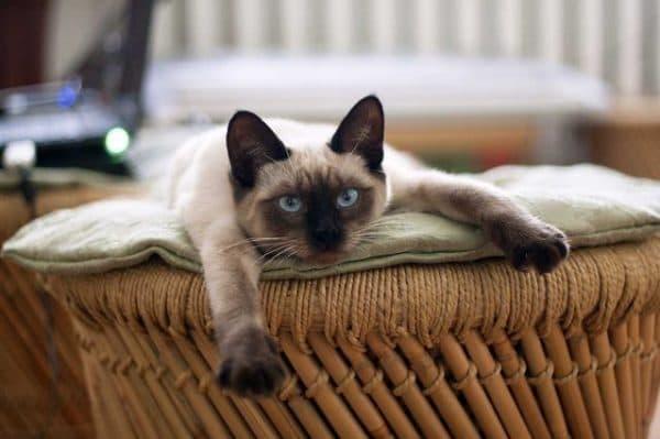 Кормление тайской кошки. Перечень разрешенных натуральных продуктов