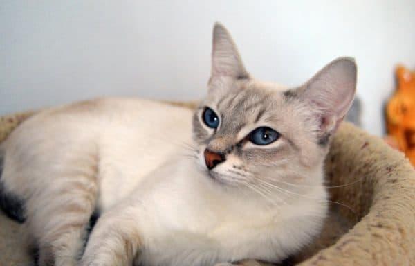 Кормление тайской кошки. Питание при болезнях