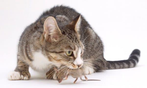 Кот ест мышей