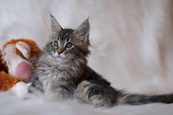Мейн кун красивый котенок