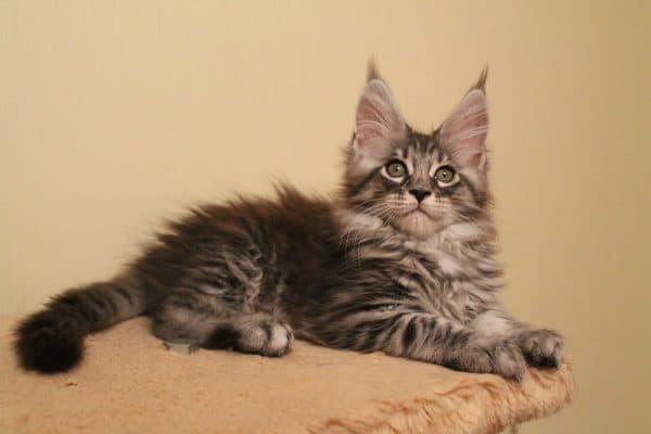 Мейн кун прекрасный котенок