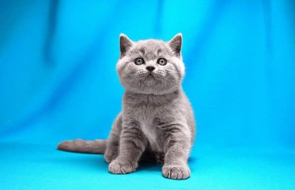 Натуральное питание британских котят