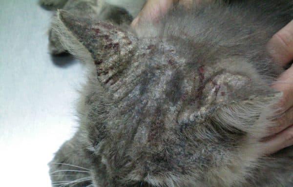 Нотоэдроз у кошек читайте статью