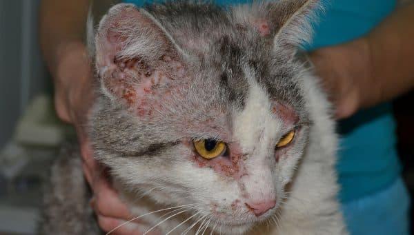 Нотоэдроз у кошек. Симптомы