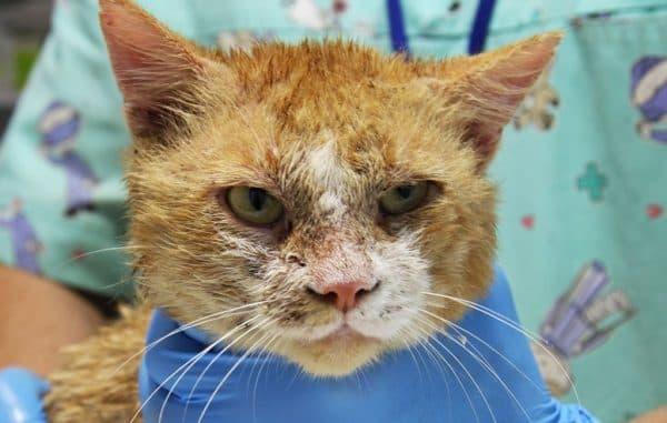 Нотоэдроз у кошек. Симптомы и лечение