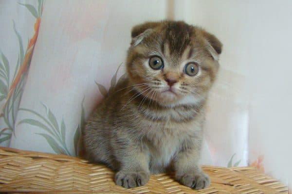 Общие правила кормления шотландского котенка
