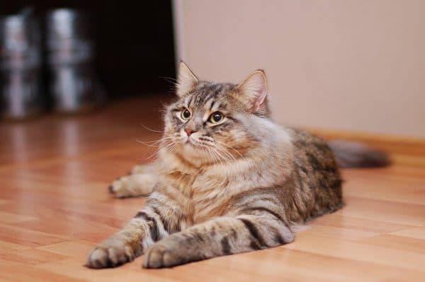 Обзор хороших готовых кормов для сибирской кошки