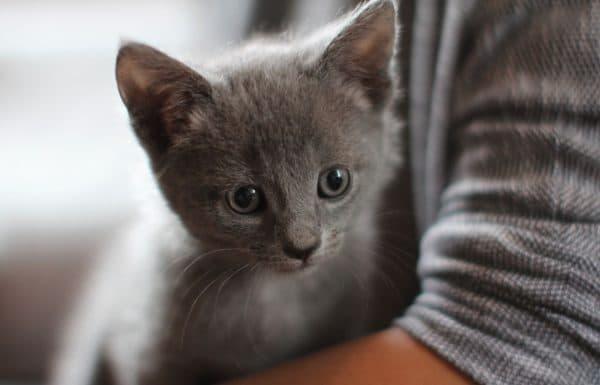 Основы кормления котят русской голубой
