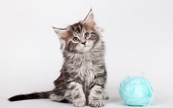 Особенности натурального кормления котят мейн-куна
