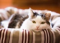 Поликистоз почек у кошек