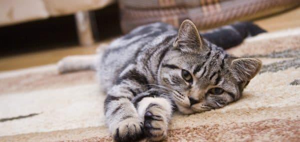 Поликистоз почек у котов и кошек