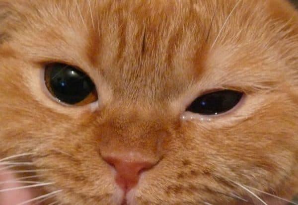 Признаки лагофтальма у кошек