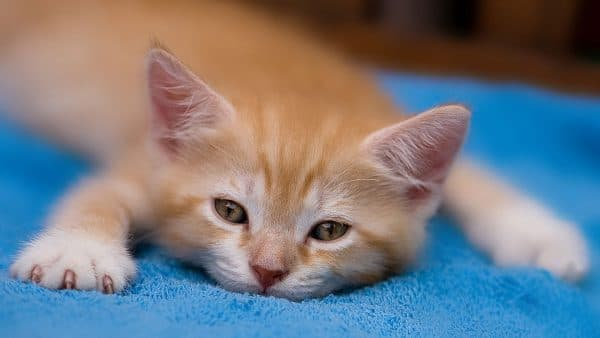 Рахит у котят. Лечение рахита