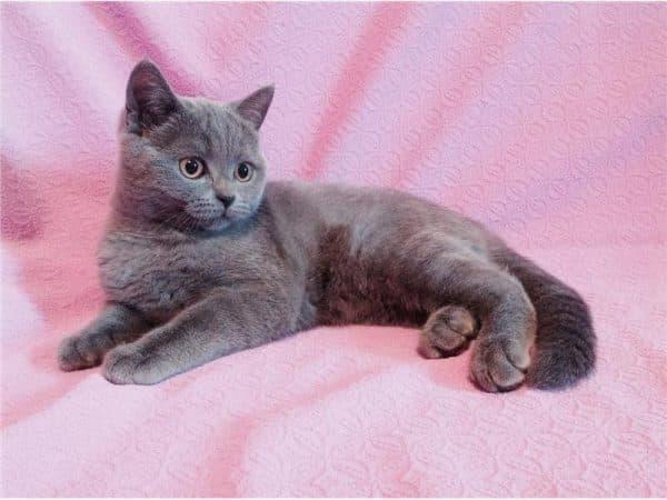 Шотландский котенок 4 месяца