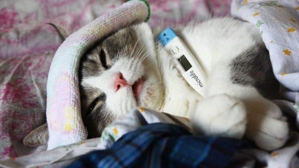 Симптомы и лечение кошачьего гриппа